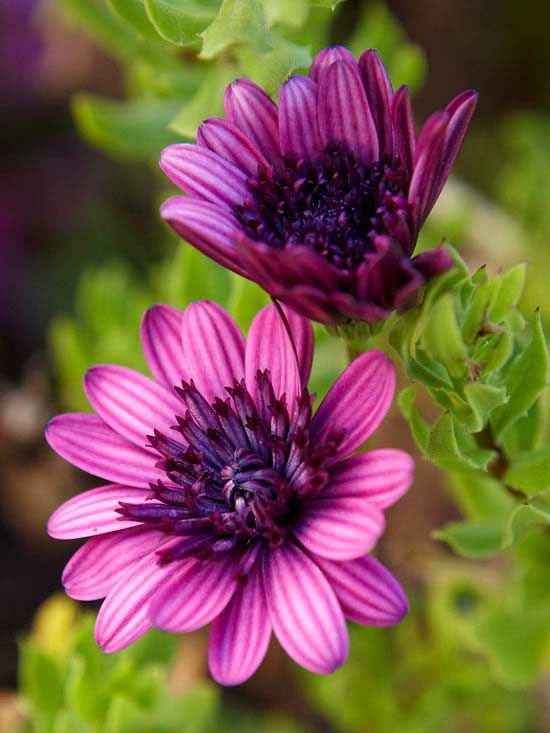 Check out some hot new plants of 2012 like these amazing 3D Purple Osteospermum!Purple Osteospermum, Spring Flowers, 3D Purple, 2012 Gardens, Margaridadocabo Osteospermum, Beautiful Flowers, Flower Beds, Amazing 3D, Colored Pencils