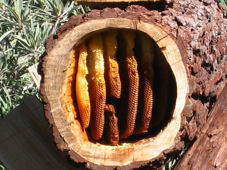 Natural comb in a log hive - The Melissa Garden. | Bees ...