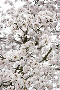 """The """"Stella"""" cherry tree produces white blossoms before fruiting. I like this and the pink shades"""