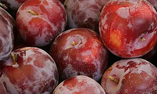 Santa Rosa plums: How to choose, store and prepare. [Fave tip: the white shows they've not been overhandled] (pic by Richard Hartog / LAT)