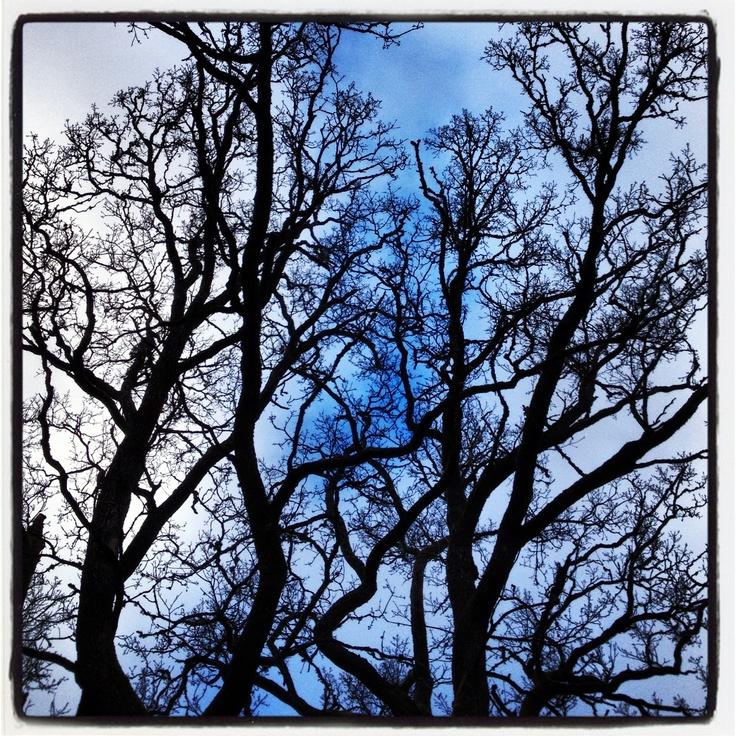 Old oak trees in Sweden November beautiful cool blue sky