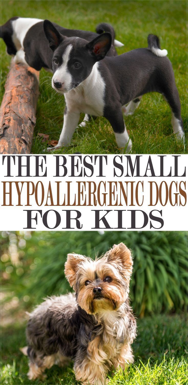 The Best Small Hypoallergenic Dogs For Kids in 2019 ...