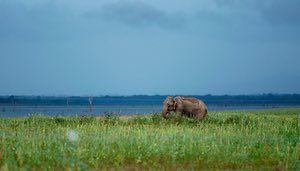 A Sri Lanka wild elephant grazes near the boundary of a wildlife sanctuary in Udawalawe national park