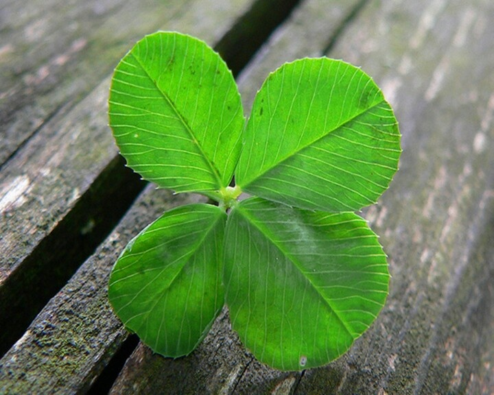63 Best Quadrifogli Images on Pinterest Four Leaf Clover Clovers