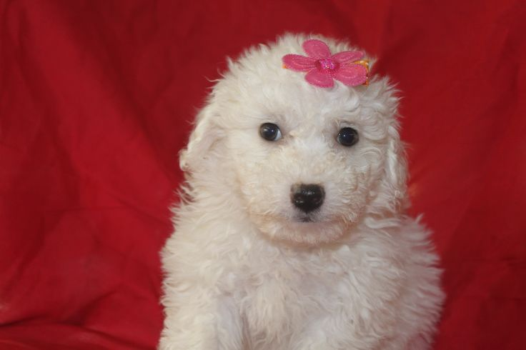 Bichon Puppies For Sale - This is a female bichon puppy in a litter posted at http://www.network34.com