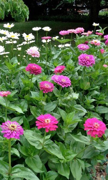 Beautiful  Annuals Zinnia flower
