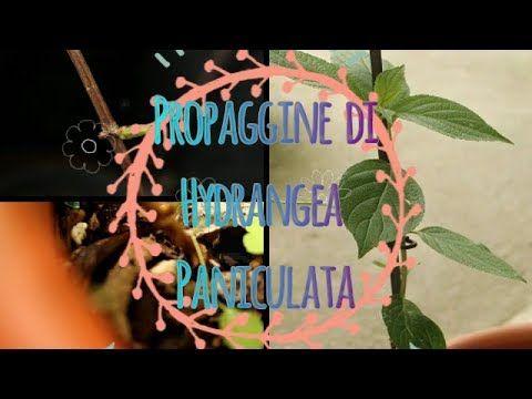 Propaggine di Hydrangea Paniculata (Ortensia) / MOLTIPLICAZIONE