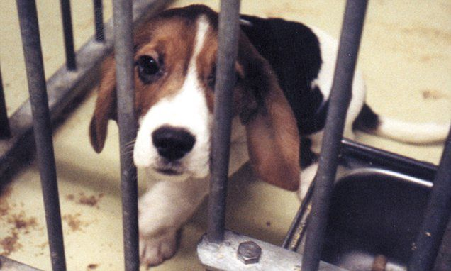 STANLEY JOHNSON: Why ARE we still torturing beagles?