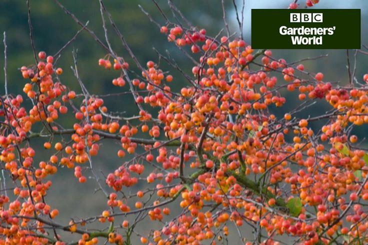 25 Trending Apple Tree Ideas On Pinterest Apple Tree Flowers Apple Tree Yard And Growing