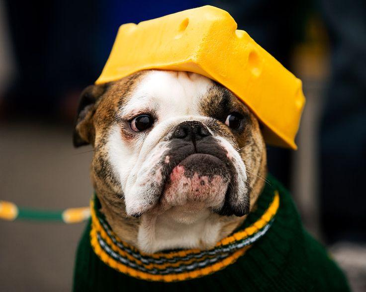 A Packers Loving English Bulldog.