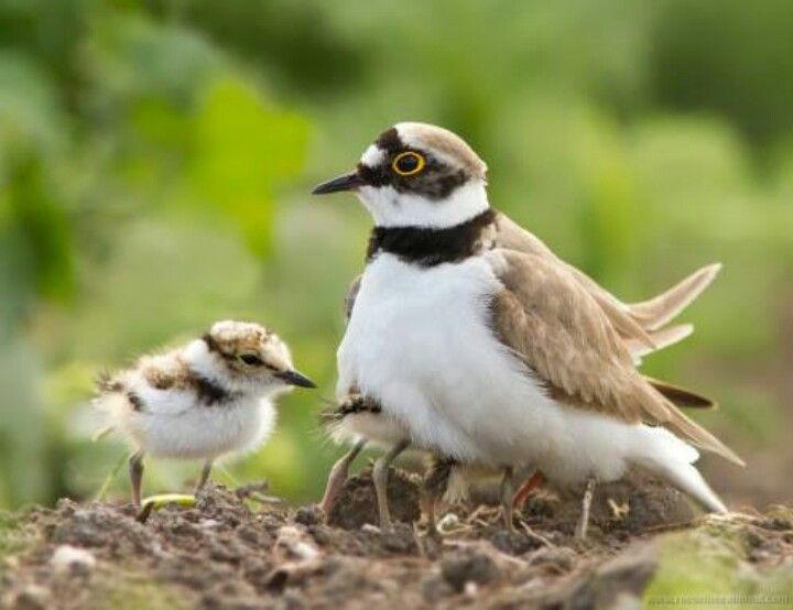Ringed Plover And Little Ringed Plover