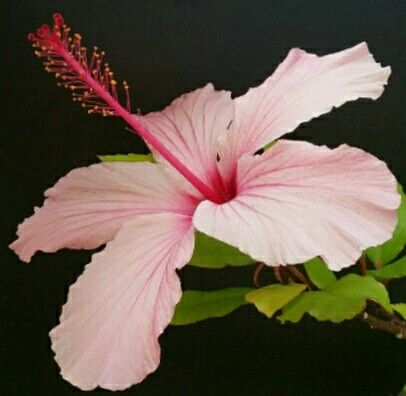 """""""Pink Hibiscus""""  Gouache painting  by  Irena Kristina Rose Forrester   copyright  2015  all rights reserved"""
