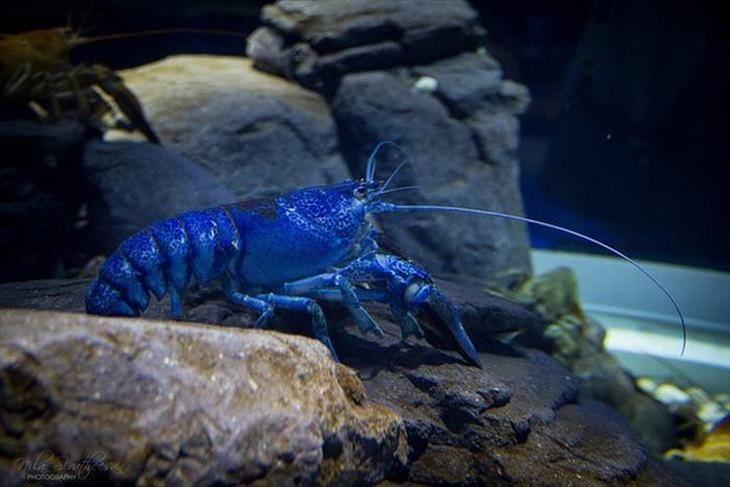 Há vários exemplos diferentes de lagostas azuis, incluindo a peculiar (Homarus gammarus), que é azul quando viva, mas vermelha quando cozida.