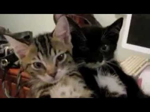 Fainting goat kittens. Read to description and try to watch the video without our crying. These poor babies.