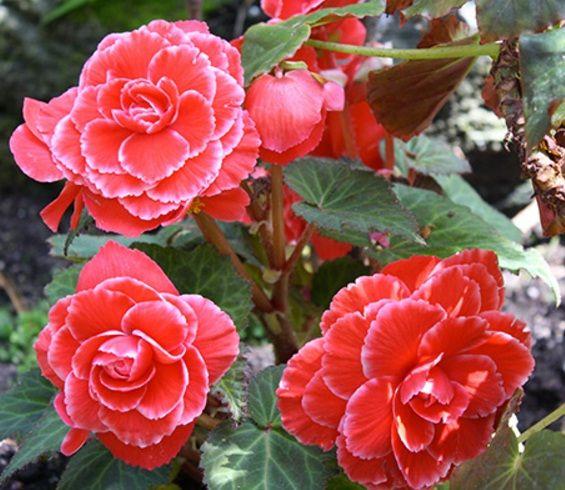 8 Jenis Tanaman Hias Begonia Yang Perlu Anda Ketahui Menanam Bunga Begonia Tanaman
