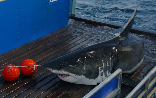Great white shark tracker: Mary Lee surfaces off Island Beach State Park