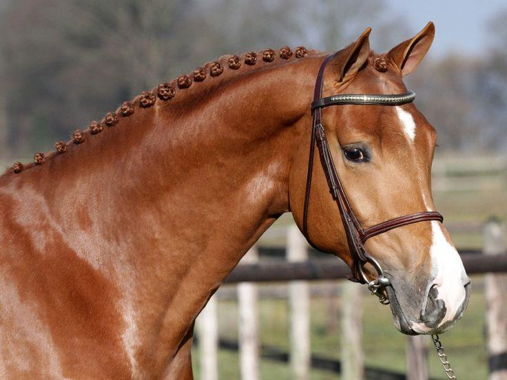 Royal Dutch Warmblood (KWPN) stallion