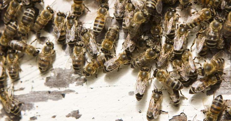 Como exterminar colmeias de abelhas no solo. Há muitas variedades diferentes de abelhas, que vão desde a social e agressiva abelha jaqueta amarela e a solitária e dócil mamangava, até a lucrativa abelha de colmeia e o zangão peludo, por excelência. Desses tipos de abelhas, existem várias subespécies que podem ser distintamente diferentes umas das outras. Em vez de construir sua colmeia ...