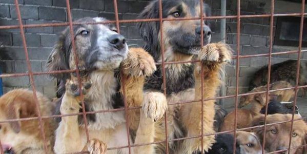 IMPLEMENT A HUMAN LAW FOR MANAGING THE STRAY PROBLEM IN ROMANIA
