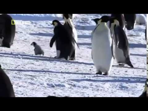 PENGUINS: Animals for children. Kids videos. Kindergarten | Preschool learning - YouTube