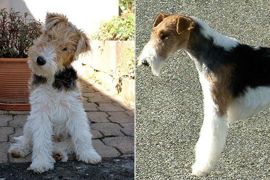 Fox Terrier.Informal OR formal- Informal for me