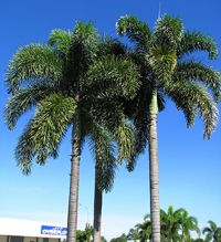 Foxtail  Palm   http://images.florida-palm-trees.com/images/palm-trees/foxtail-palm-tree/foxtail-palm-tree3.jpg
