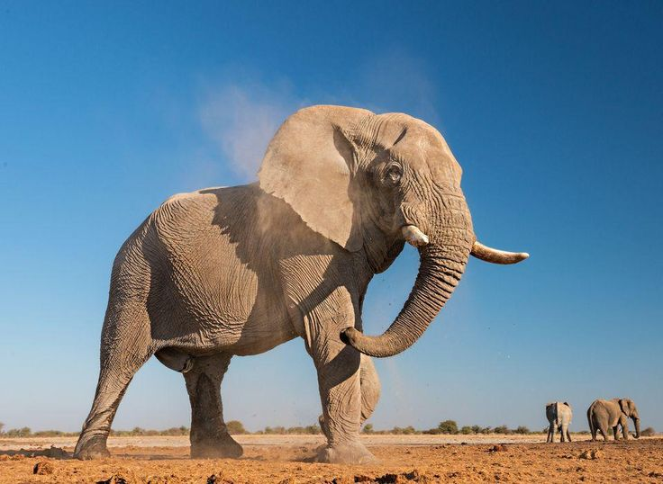 African Elephants, African Elephant Pictures, African Elephant ...