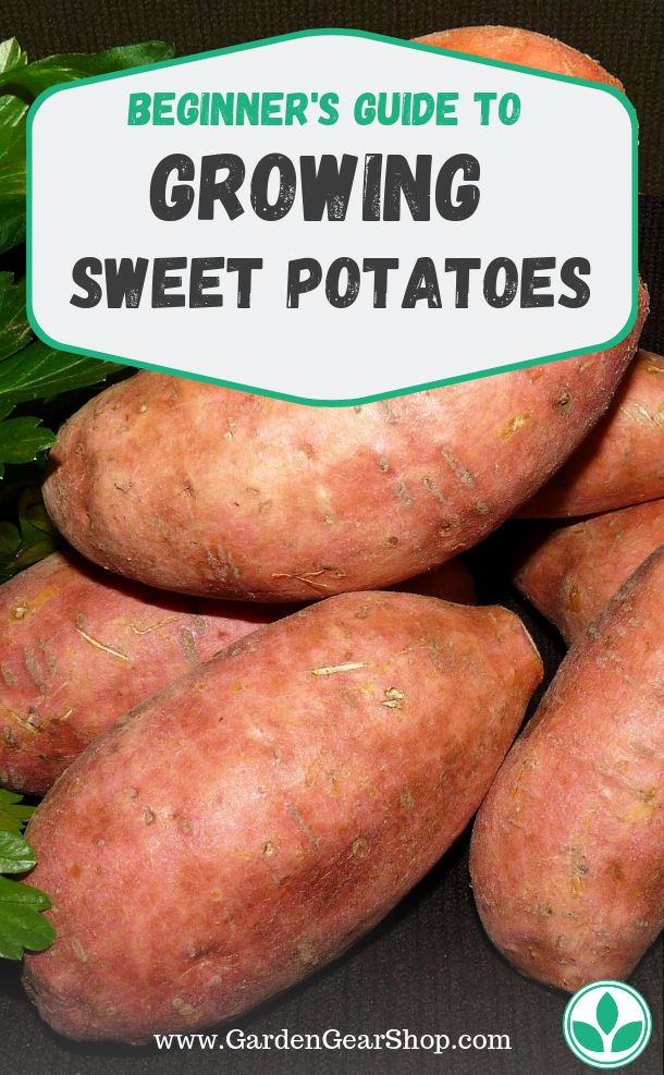 Growing Sweet Potatoes (Beginner's Guide) #gardengearshop #garden #yard #backyard #seeds #gardening #plants #plant #pla…