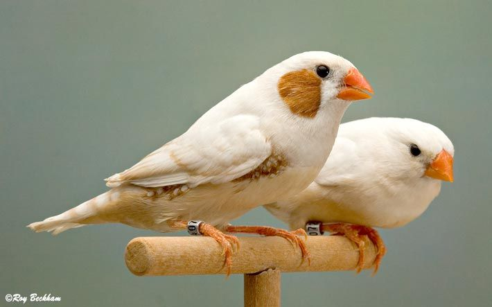 The Enigma of the Florida Fancy and the European Zebra Finch