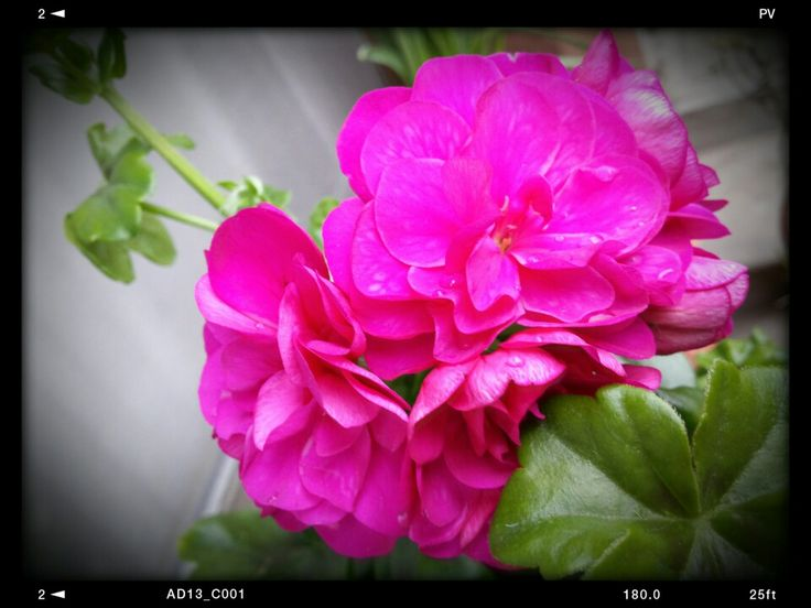 Geranei rosa arriva la primavera!