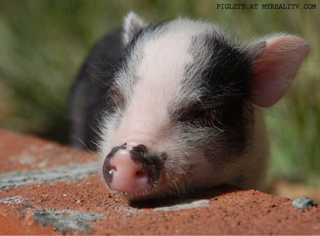 Best Place to Buy a Teacup Pig?    The Truth About Teacup Pigs, History, Care and Pricing