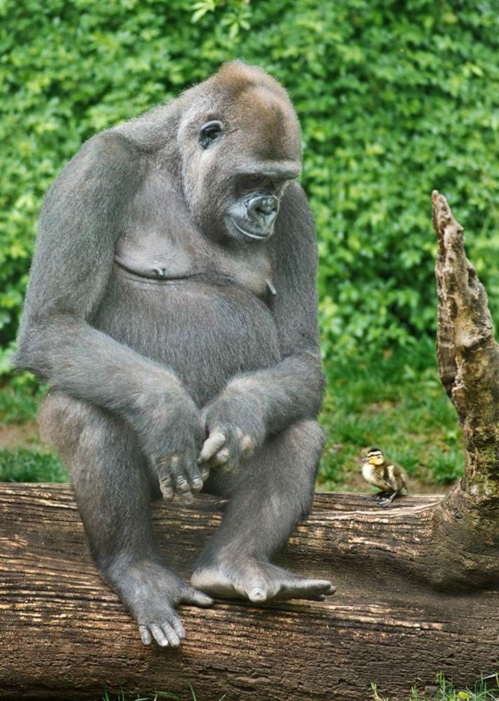 What's up, duck? Gorilla goes ape for tiny friend - Pets - TODAY.com
