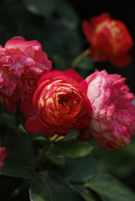Climbing Rose: Rosa 'Soleil Romantica' (France, 2010- still in production?)