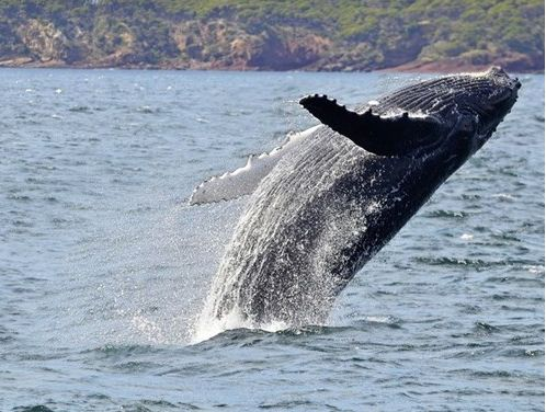 whale watching in eden - stay in one of the short term rentals in Eden for your holidays. http://www.ozehols.com.au/blog/new-south-wales/caravan-parks-in-eden-a-super-spot-to-watch-whales/ #eden #visiteden