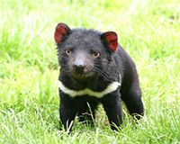 Stop Plans for Tasmanian Devil Culling - The Petition Site