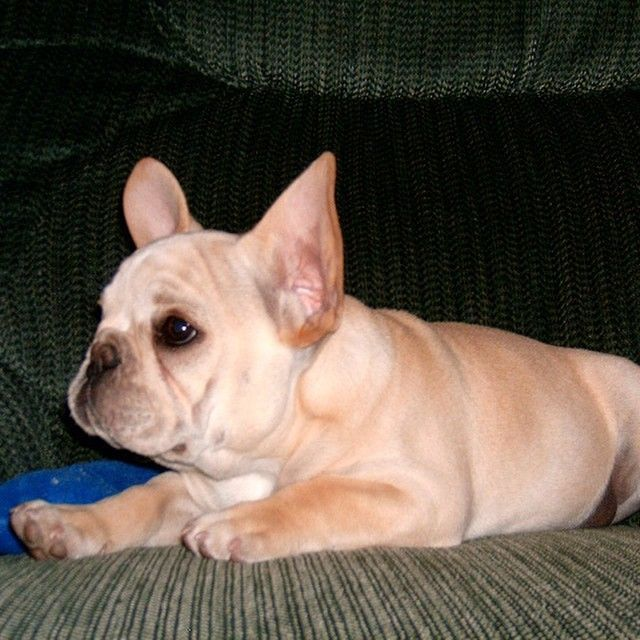 Walter Cronkite As A French Bulldog Puppy