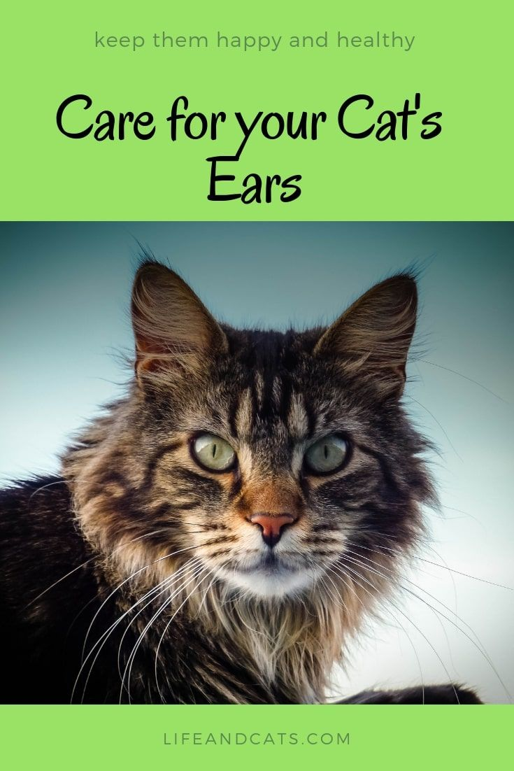 Best Way To Care For Your Cat S Amazing Ears Cats Cat Grooming Raising Kittens