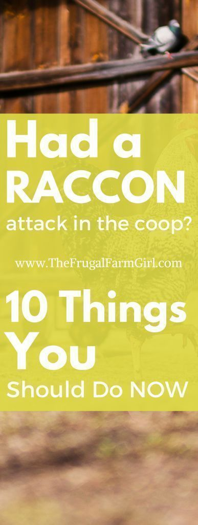 raccoon attack in your chicken coop