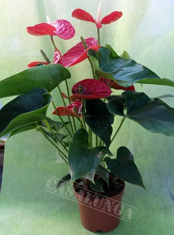 Anthurium pianta da interno piante pinterest piante - Piante da interno purifica aria ...