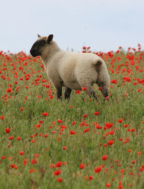 Sheep in a poppy field.