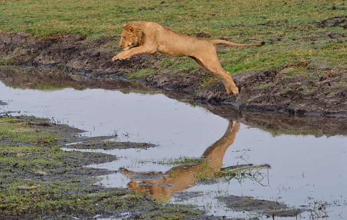 Young lion leaping over a channel in Kafue's Busanga Plains #Zambia #safari