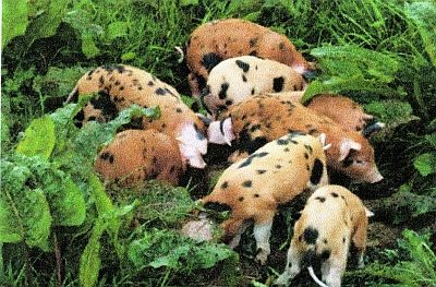 """The rare breed called Oxford Sandy & Black, or """"Plumb Pudding,"""" a heritage pig, is described in the most recent """"Lyrical"""" pages of the fab food website, BritishFoodinAmerica.com. Fascinating. Check it out!"""