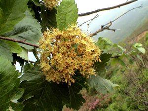 Fagus sylvatica, Asturias, Caso, 15/05/2011