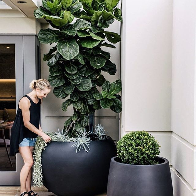 Need some inspiration on just exactly what to do when your Fiddle Leaf grows into a giant and won't fit in the house anymore? Why not use scale to your advantage and position it in a balcony nook with an oversized pot. Underplant it with some dichondra silver falls to soften the base and the transition will be complete! 🌳🌿😍 #fiddleleaffig #dichondra via @harrisonslandscaping