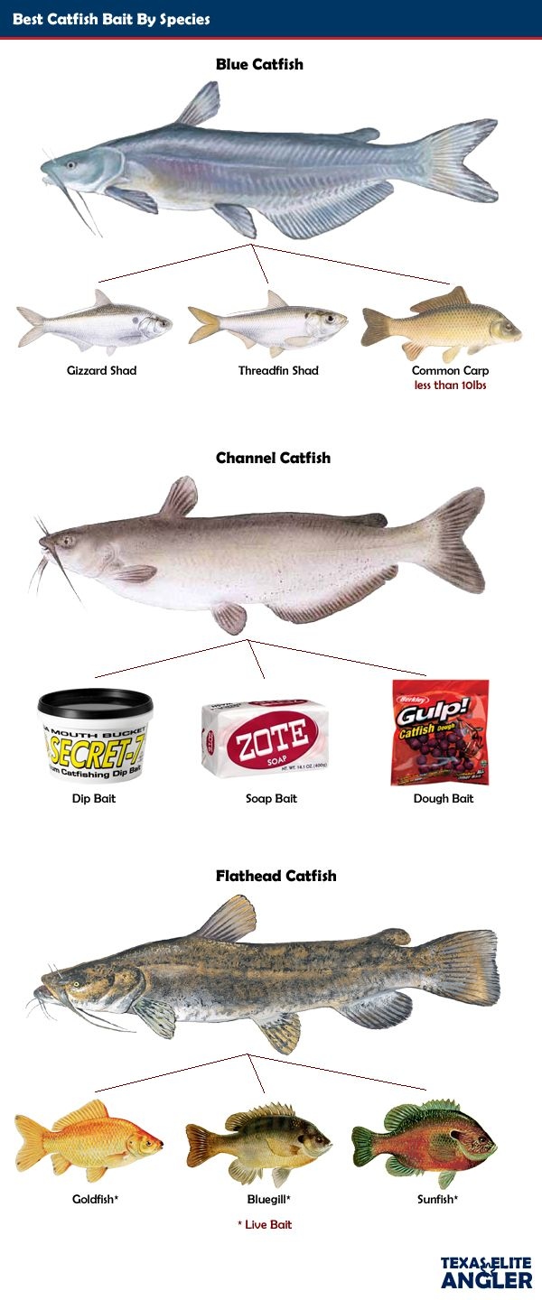 channel catfish bate - Yahoo Image Search Results