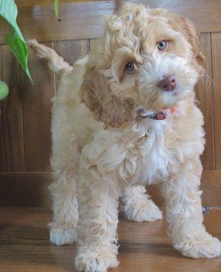 Aussie Labradoodle - Available Australian Labradoodle Pups