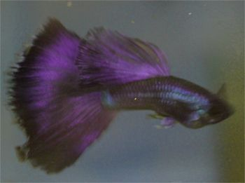 118 best images about guppies on pinterest blue tuxedos for Purple freshwater fish