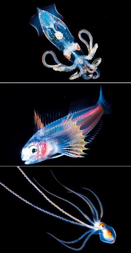 Rare Deep Water Shark   Rare deep-sea fish pictured Many deep sea fish display a show of spectacular colors, known as bioluminescence. Light is created when the ( protien or bacteria can't remember which pretty sure protien) Lucifern is broken Down.