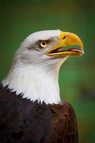Photograph Bald Eagles in Alaska -- profile with tongue extended slightly