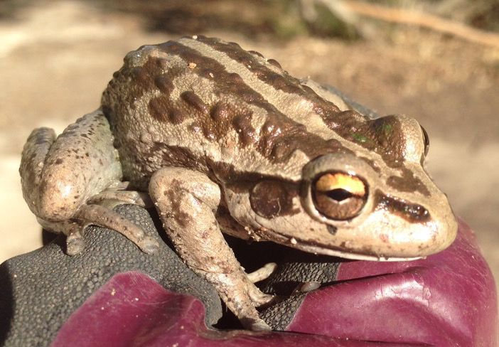 A QuestaGame player, Amy, spotted this Motorbike Frog (Litoria moorei) today in Coolup WA. Seems the mating call of bikie-boys works for ground-dwelling tree frogs of the Hylidae family as well. Vroom vroom!